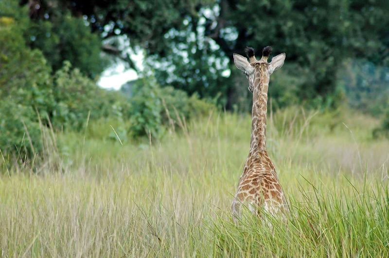 Giraffe on grass against trees
