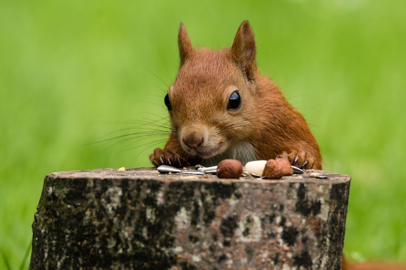 Close-up of squirrel with nuts