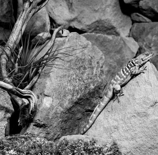Reptile texture Ⅴ Animal Themes Baja Blue Rock Lizard Black & White Black And White Blackandwhite Close-up Nature No People Petrosaurus Thalassinus Reptile Rock Rock - Object Rock Formation Texture Textured  Textures And Surfaces BYOPaper! Visual Creativity