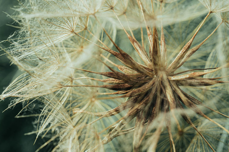 Plant Close-up Growth Flower Fragility Dandelion Seed Dandelion Seed Flower Head Wilted Plant Macro Nature Nature_collection