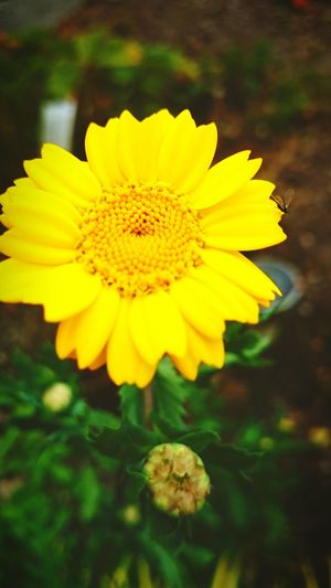Taking Photos Yellow Flower Beautiful Nature Relaxing Gourgeous Me Happy 😊😊😊 At Home Sweet Home