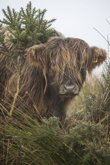Animal Themes One Animal Domestic Animals Nature Grass Mammal No People Livestock Outdoors Day Tree Highland Cattle Sky Beauty In Nature Close-up Coo Highlandcattle Highlands Of Scotland Highland Cattle HighlandCows Animals In The Wild Animal Wildlife Clouds Scotland Nature Beauty In Nature