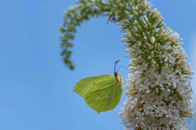 Animal Wildlife Beauty In Nature Butterfly Clear Sky Close-up Common Brimstone Flower Flowering Plant Gonepteryx Rhamni Insect Nature No People Outdoors