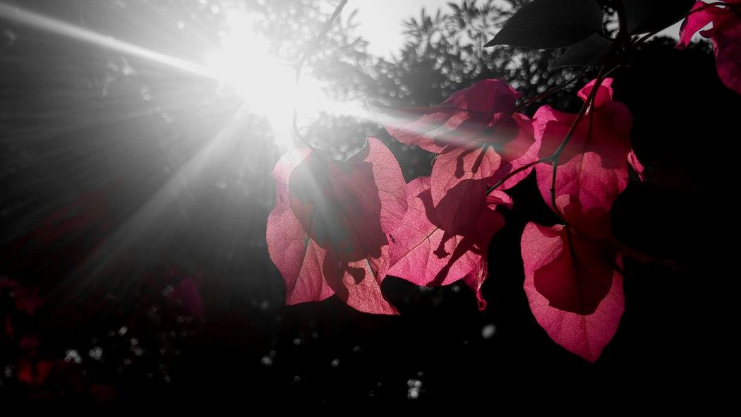 Sun Splash , dark side Branch Dark Clear Sky Sun Flower Freshness Nature Green Scenics Beauty Sky Splash Flowers Flowers,Plants & Garden Flowerlovers flowergardennatureecuadorsantodomingoecuadoreyeEmfollowersiphoneonlynofiltrermacro_gardenprettybeautifulfollowmesho Flowers 🌸🌸🌸 Pink Flowers Blackandwhite Black And White With A Splash Of Colour Black And White Flower Collection Pink Rose Fresh On Eyeem  Millennial Pink Neon Life