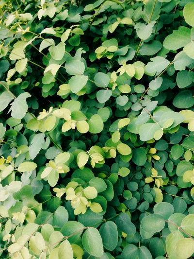 Plant Plants Leaves Branches Bush Nature Nature_collection Green Green Color Greenery Backgrounds Hydrangea Abstract Backgrounds Color Gradient Lush - Description Blooming Lush Foliage Vine - Plant