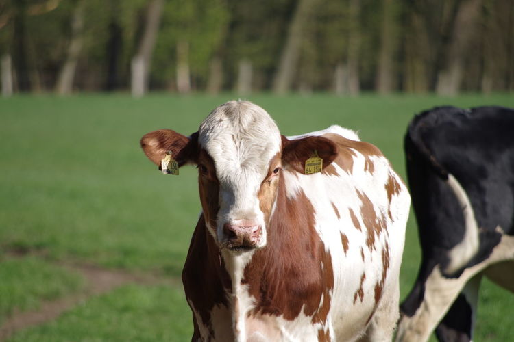 Cow With Ear Tag Standing On Field