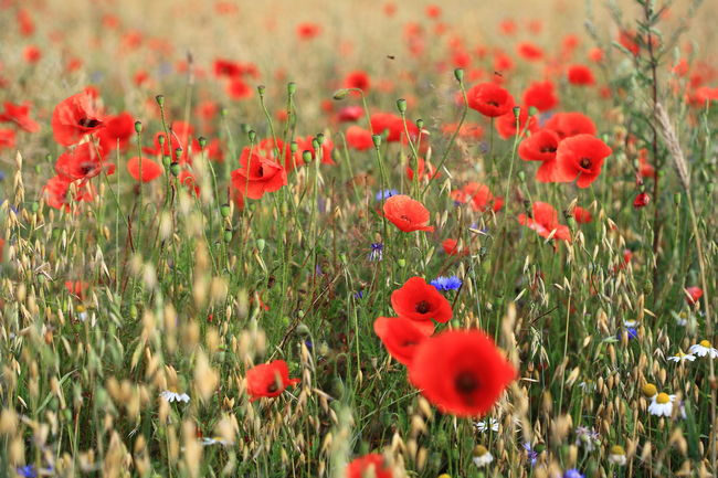 Abundance Blooming Botany Cornflower Field Field Of Dreams Field Of Flowers Flower Head Fragility Freshness Landscape Poppy Poppy Field Red Color Is Powerfull See It Different Selective Focus Spring Flowers Spring Time Weather