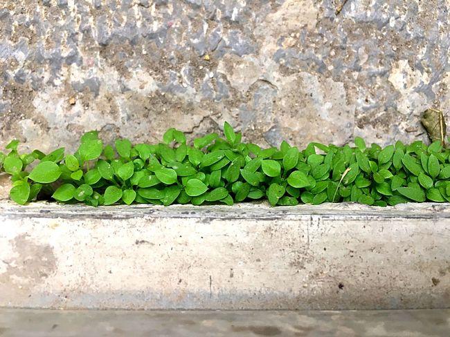 Tiny Tinyplants Plant Plants Plants 🌱 Detail Details Details Of Nature Texture Stone Material Green Color Floor Stone Floor Iphonephotography Tehran Tehran, Iran Iran