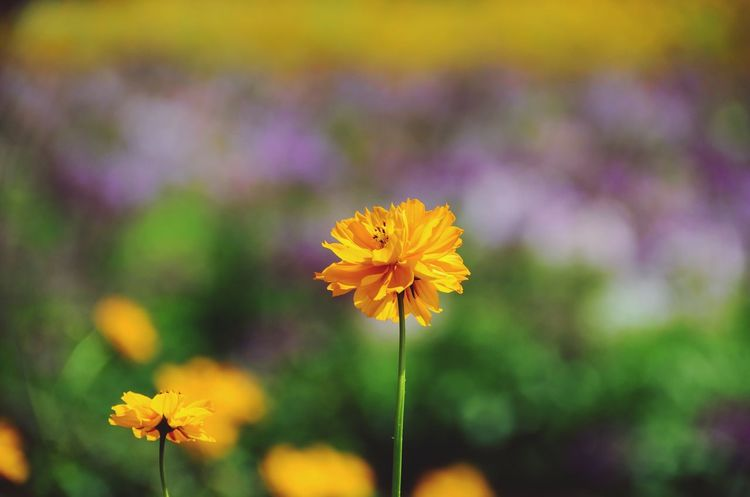 Cosmos flowers Flowers Orange Flower Orange Flower EyeEm Nature Lover Flower Fragility Petal Freshness Flower Head Yellow Nature Focus On Foreground Beauty In Nature Growth Blooming Cosmos Flower Close-up Outdoors