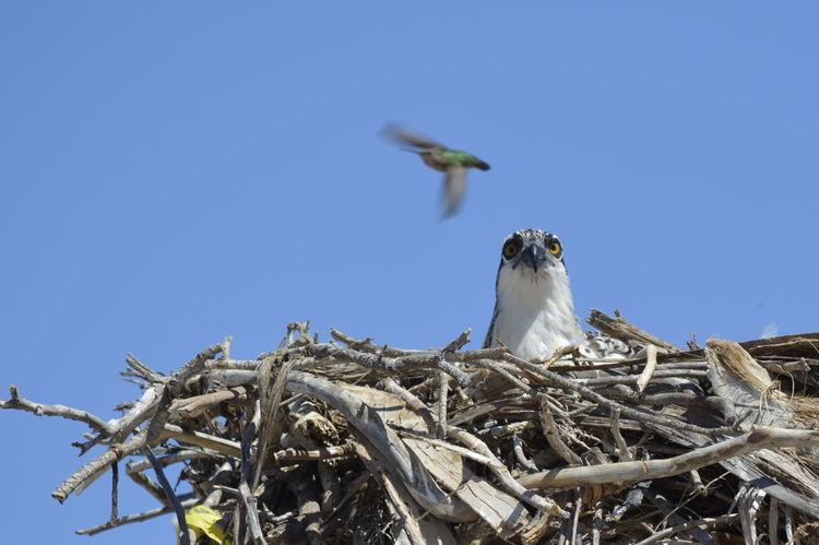 Animal Themes Animal Wildlife Animals In The Wild Bird Clear Sky Hummingbird Nature Osprey  Outdoors