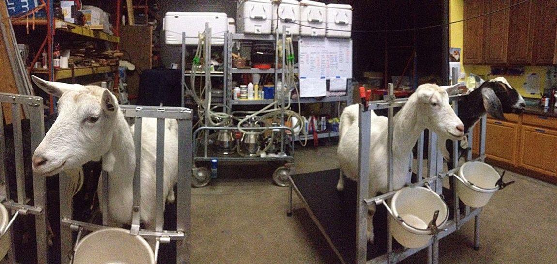 Goatfarm Animal Goat Animal_collection Lovable Pets Cute Pets Animal Photography Serenitygoats Goat Life Serenityacres Farmersonly Smile Dairy Milk Good Morning