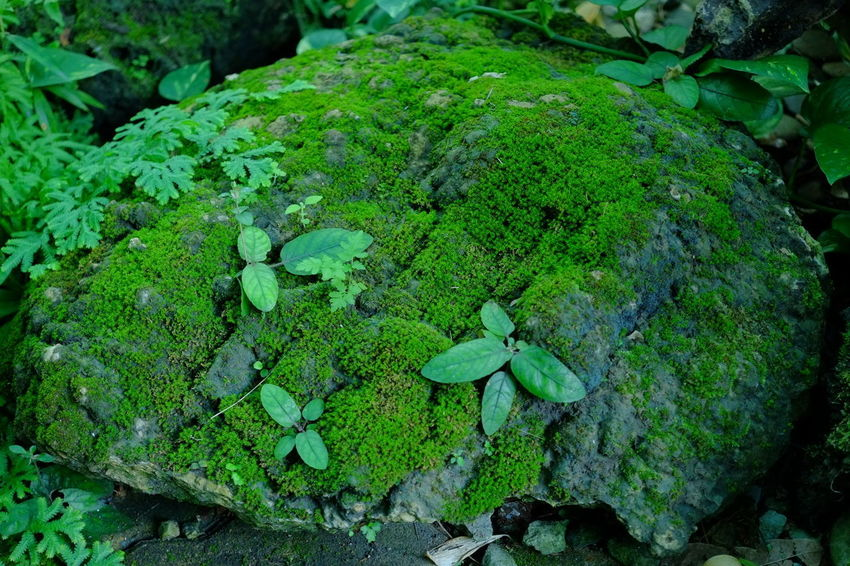 Moss Plant Moss Plant Green Color Nature Outdoors Plant Part Plant Rock