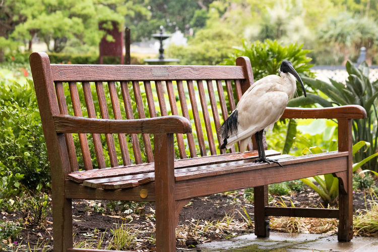 Australian white Ibis on a bench Seat Wood - Material Animal Themes Chair Bird Vertebrate No People Animal One Animal Day Focus On Foreground Bench Nature Animal Wildlife Animals In The Wild White Color Tree Plant Outdoors Full Length Australia White Ibis Bench