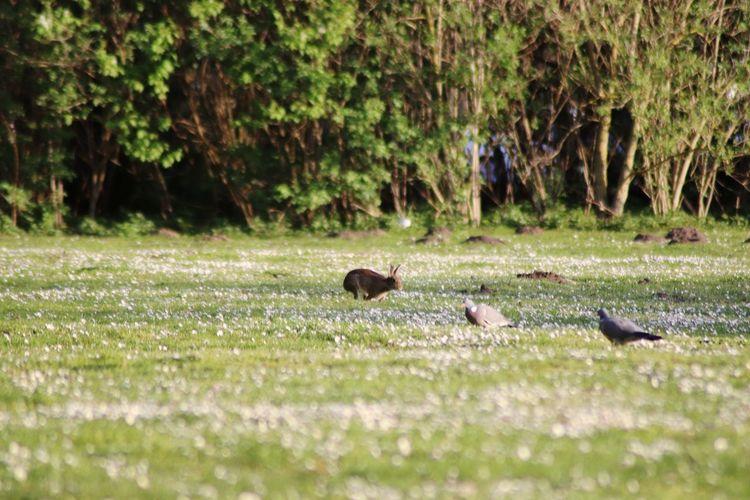 Ducks in a field