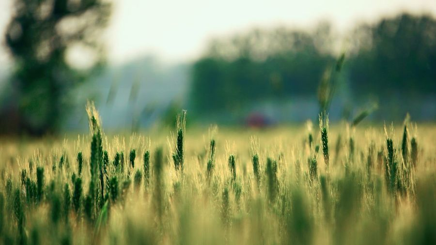 Tree Rural Scene Cereal Plant Defocused Agriculture Field Close-up Sky Grass Plant Ear Of Wheat Poppy Dew Lush - Description Wildflower RainDrop Blade Of Grass Uncultivated Dandelion Blooming Crop  Wheat Grain