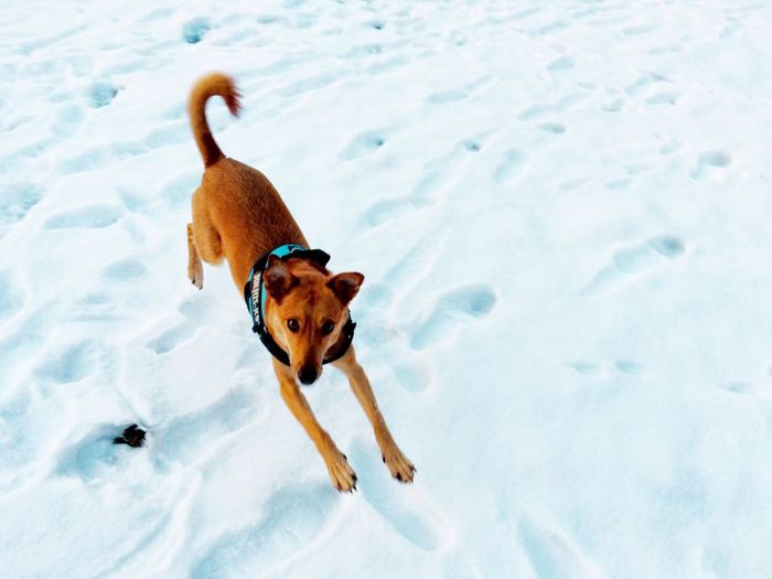Flying Dog Wintertime Snow Snow ❄ Winter Animal Animal Themes Dogs Dog Love Dogs Of EyeEm Dogslife Flying Dog Run Running Cold Temperature Running Dog Pets Dogstagram Domestic Animals Mixbreed Healthy Energetic Happy Happy Dog
