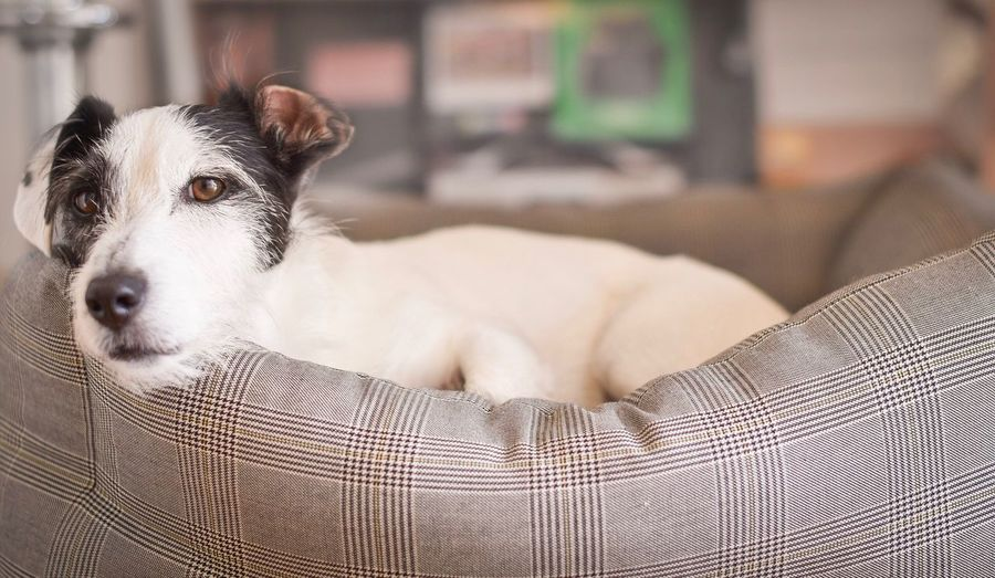 Jack russell terrier resting on pet bed