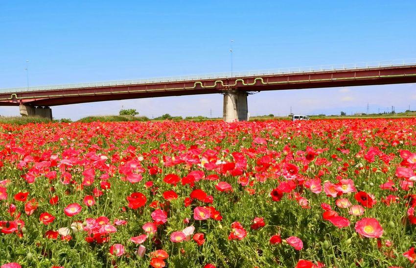 鴻巣のポピー 荒川 Bridge Landscape_photography Eyem Flower_collection Poppy Flowers Eyem Best Shots Cycling Around Eyem Nature Lovers  Check This Out Taking Photos