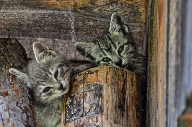 Domestic Cat Animal Themes Domestic Animals Pets Wood - Material No People Feline Whisker Mammal Looking At Camera Close-up One Animal Day Portrait Indoors  Cats Lovers  Ilovemycat Catsofinstagram Cats Of EyeEm Cat Cat♡ Catlovers Feline Portraits Cats Lovers  Babycat