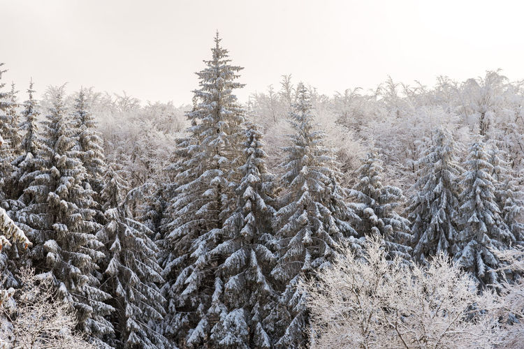 Snow covered pine trees against clear sky