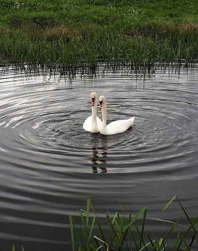 Mute Swan's