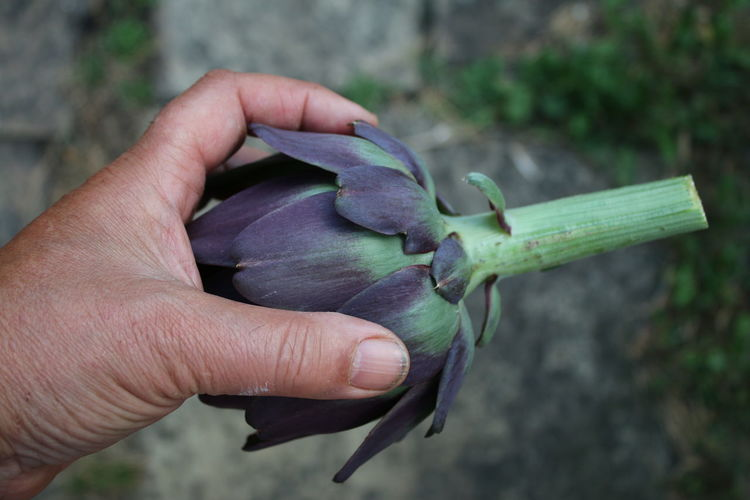 Close-up of hand holding purple leaf
