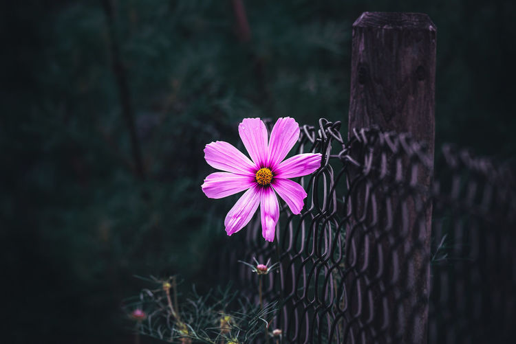 Flower Flowering Plant Plant Freshness Fragility Vulnerability  Petal Beauty In Nature Flower Head Inflorescence Nature Pink Color Growth Fence Close-up Barrier Day Focus On Foreground No People Boundary Outdoors Pollen Purple Wooden Post