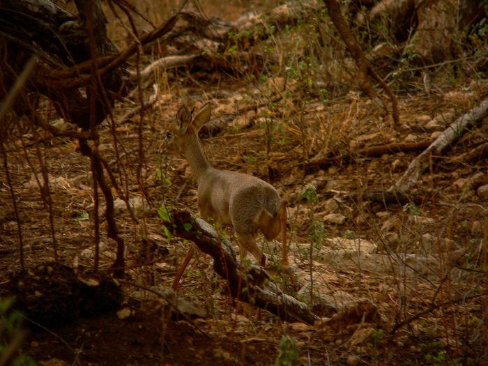 Shaba National Reserve in Northern Kenya - Dik-Dik Gazelle Kenya National Park The Week On EyeEm Africa Animal Themes Animal Wildlife Animals In The Wild Day Dik-dik Forest Mammal Nature No People One Animal Outdoors Safari Travel Destinations Tree