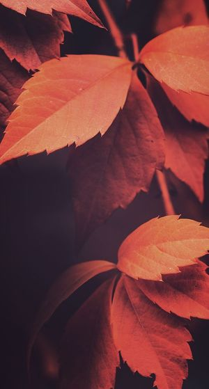 Autumn just came and now in a few days winters here feels like seconds just taught when this ausome shot was taken by me😊😅 Nature Beauty In Nature Leaf Orange Color Close-up