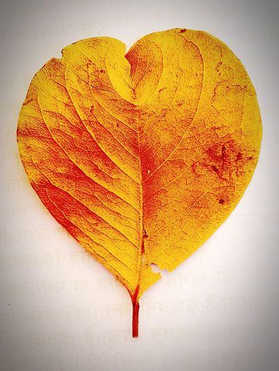 Heart shape leaf Heart Shape Golden Leaf Leaf Change Autumn Heart Shape Love White Background Studio Shot No People Nature Close-up Day