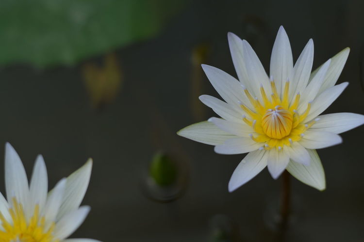 Lotus Flower Petal Flower Head Beauty In Nature Fragility Nature Freshness Water Lily White Color Lotus Water Lily Blossom Plant Close-up Water Yellow Day No People Tranquility Stamen Springtime