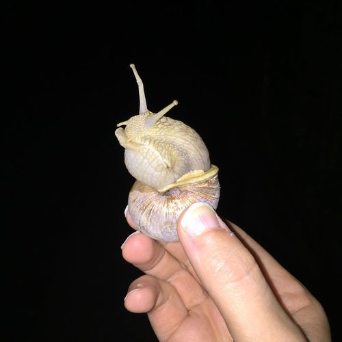 Close-up of hand holding snail against black background