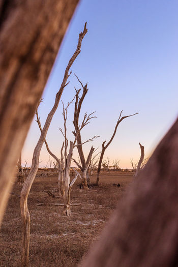 Scenics - Nature No People Landscape Nature Tranquility Tree Dead Plant Field Environment Day Bare Tree Selective Focus Beauty In Nature Non-urban Scene Clear Sky Growth Outdoors Arid Climate Australia Travel Travel Destinations Sunset Colorfull Desert