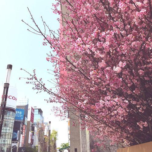 銀座で少しお花見^ ^ Tree Architecture Plant Low Angle View Sky Nature Flower Flowering Plant Day