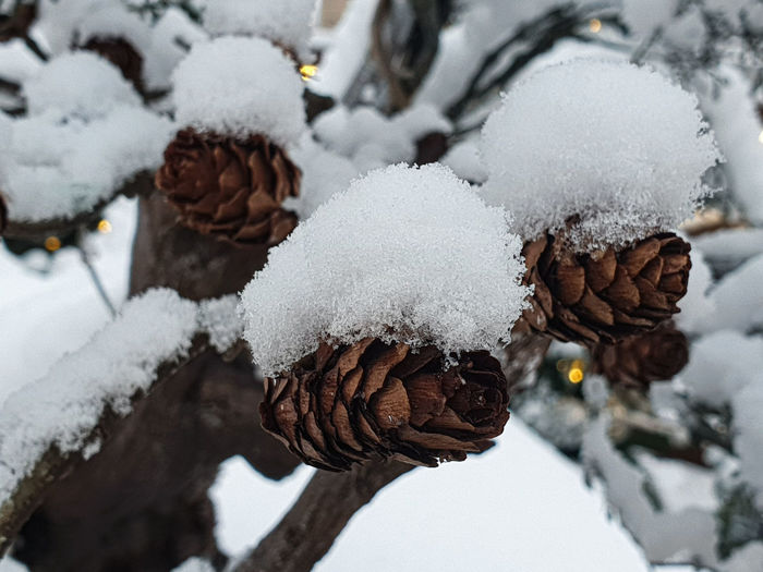 Close-up of snow covered pine cone