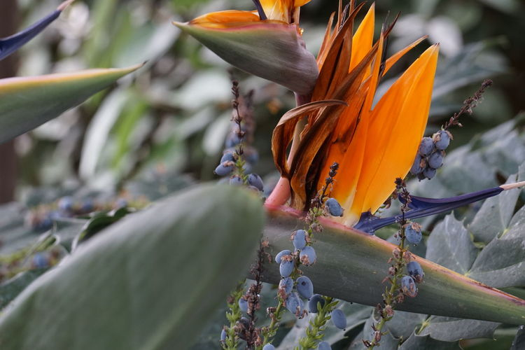 Bird of paradise blooming in lawn