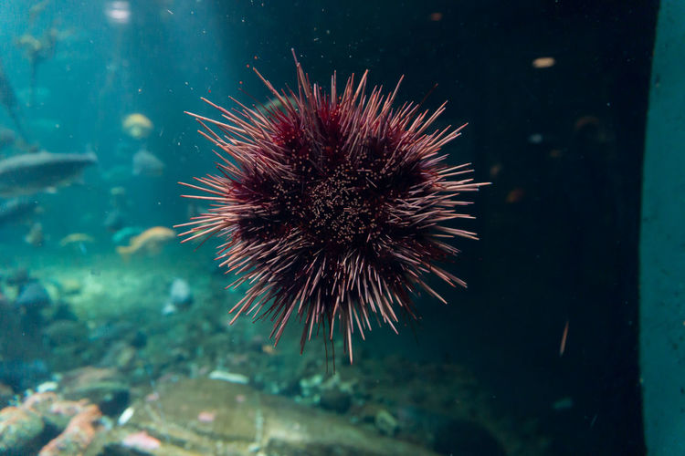Close-up of sea urchin in fish tank at aquarium