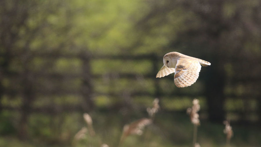 Aves Bird Photography Birds Of EyeEm  Animals In The Wild Barn Owl Beauty In Nature Bird Of Prey Flying Nature Owls Oxfordshire Spread Wings