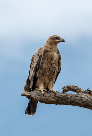 The tawny eagle (Aquila rapax) is a large bird of prey. Like all eagles, it belongs to the family Accipitridae. It was once considered to be closely related to the migratory steppe eagle, Aquila nipalensis, and the two forms have previously been treated as conspecific. Africa Animal Themes Animal Wildlife Animals In The Wild Aquila Aquila Rapax Beauty Beauty In Nature Bird Bird Of Prey Bird Photography Birds Birdwatching Eagle Large Bird Of Prey Nature Nature Photography One Animal Perching Raptor Tawny Eagle  Wild Wildlife Wildlife & Nature Wildlife Photography