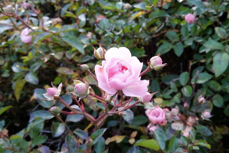 Buschwindröschen Flower Blume Wood Anemone Wood Anemones Close-up Strauch Rosa Blütenzauber Blüte