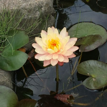 Lotus flower @ Nerima , Tokyo