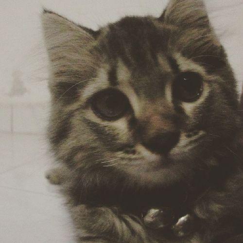Waktu 3,5 bulan Cat Kittens