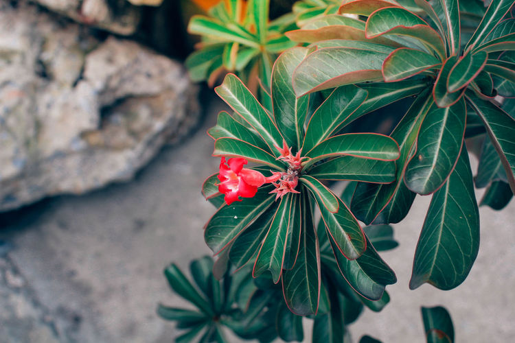 Animal Themes Beauty In Nature Blooming Close-up Day Flower Flower Head Focus On Foreground Fragility Freshness Green Color Growth Hibiscus Leaf Nature No People Outdoors Petal Plant Red
