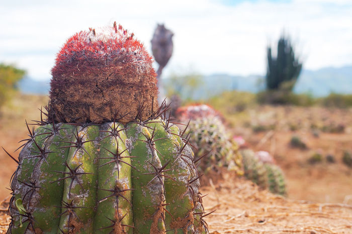 Cactus plant at the Tatacoa desert in Colombia. Adaptation Arid Climate Beauty In Nature Blurred Background Cactus Close-up Day Desert Desert Field Focus On Foreground Growth Natural Nature No People Outdoors Plant Sky Tranquility Tree