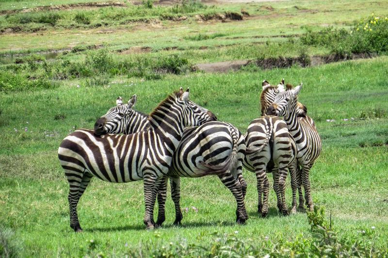 Zebras,