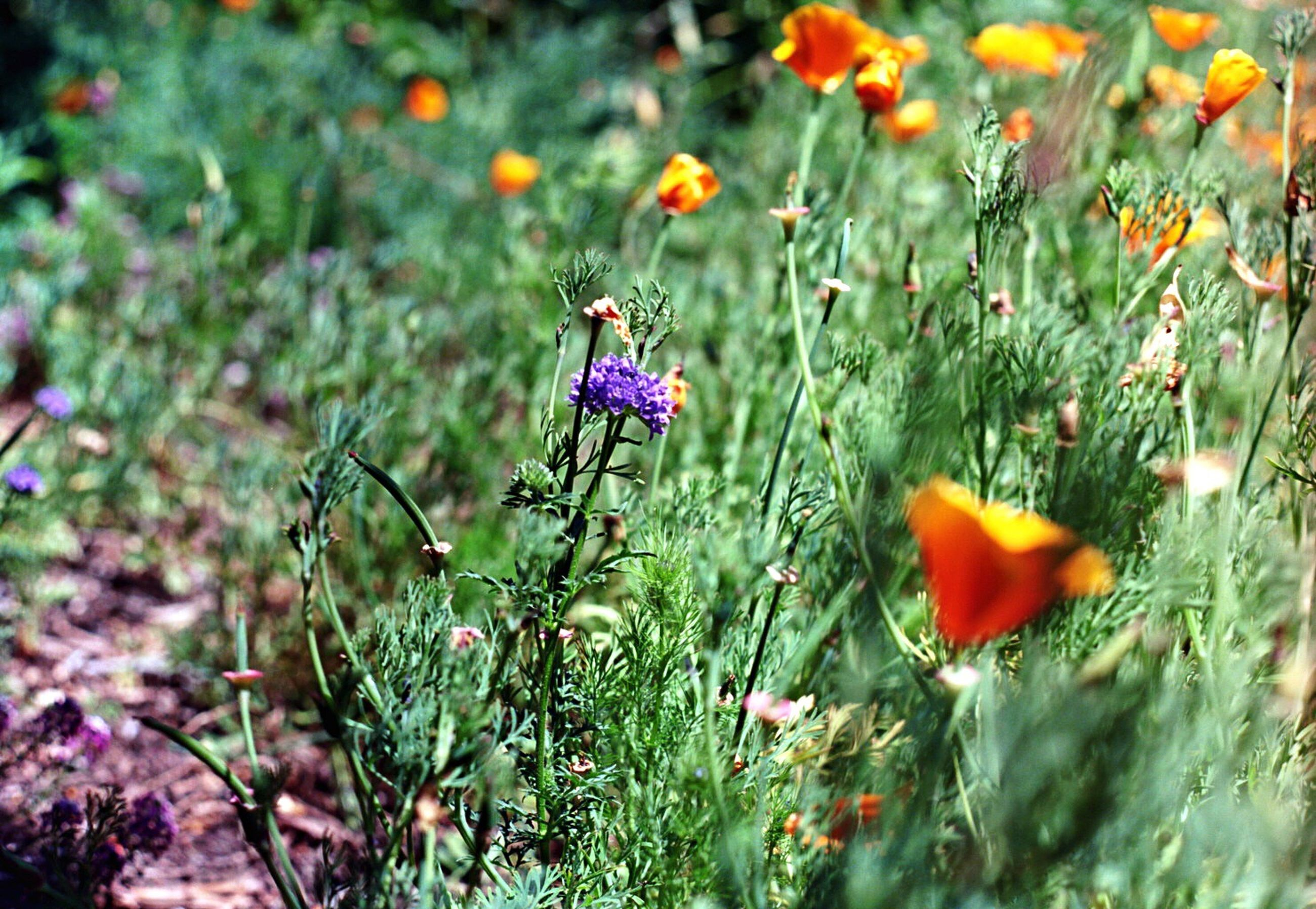 flower, nature, growth, plant, beauty in nature, wildflower, outdoors, no people, flower head, field, close-up, freshness, day, poppy, fragility