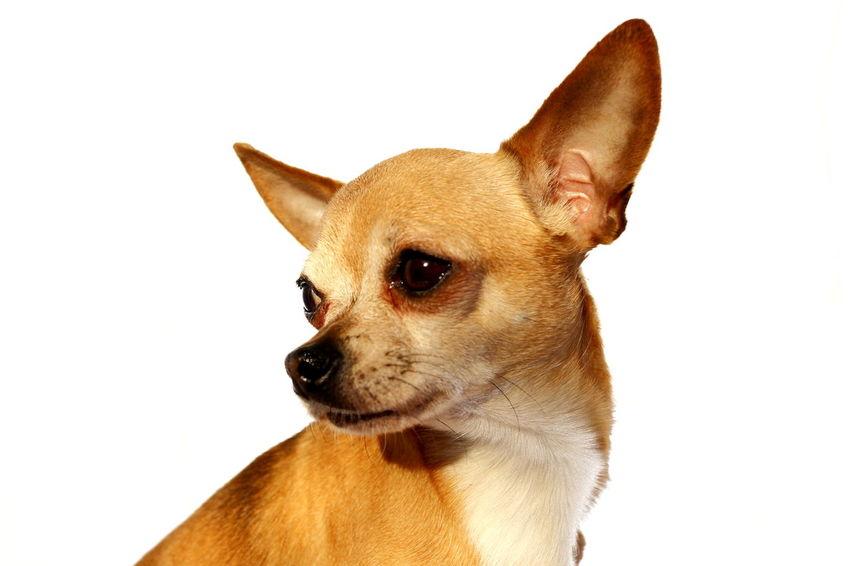 Beauty Chihuahua Close-up Dog Isolated Little One Animal Pet Portrait Smart Simplicity Studio Shot Tiny White Background