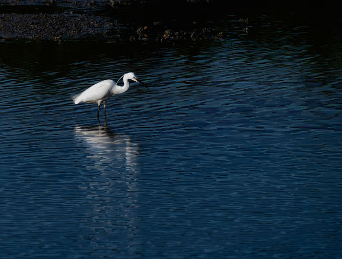 Little egret Animal Themes Water Animal Animal Wildlife Bird Vertebrate Animals In The Wild One Animal Lake Waterfront No People Reflection Water Bird Day Nature Egret Beauty In Nature White Color Rippled