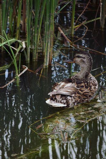 Duck Summer