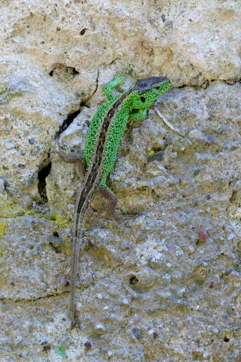Hello World Lacertidae Rock Wall Animal Animal Scale Animal Wildlife Animals In The Wild Arid Climate Climbing Close-up Curious Eidechse Green Animal Green Color Lacerta Agilis Lizard Lizzard Nature No People One Animal Outdoors Reptile Sand Lizard Zauneidechse